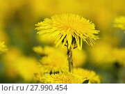 Купить «yellow dandelions on green meadow 8», фото № 27990454, снято 22 января 2019 г. (c) PantherMedia / Фотобанк Лори