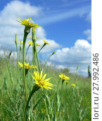 Купить «yellow dandelions on green meadow 1», фото № 27992486, снято 17 августа 2018 г. (c) PantherMedia / Фотобанк Лори