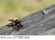 Купить «Rape fly eats kidney spotted Ladybug  beetles», фото № 27999262, снято 16 октября 2018 г. (c) PantherMedia / Фотобанк Лори
