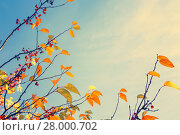Купить «Colorful fall tree leafs against sky, vintage background », фото № 28000702, снято 19 декабря 2018 г. (c) PantherMedia / Фотобанк Лори