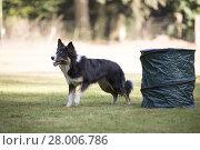 Купить «Dog, Border Collie, training hoopers», фото № 28006786, снято 23 мая 2019 г. (c) PantherMedia / Фотобанк Лори
