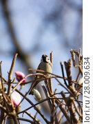 Купить «bird on magnolia tree in styria», фото № 28009634, снято 16 июля 2019 г. (c) PantherMedia / Фотобанк Лори