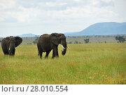 Купить «African elephants , Serengeti, Tanzania», фото № 28010554, снято 22 января 2008 г. (c) Знаменский Олег / Фотобанк Лори