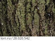 Купить «Tree Bark with Lichens», фото № 28020542, снято 19 октября 2018 г. (c) PantherMedia / Фотобанк Лори