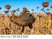 Купить «Image of fields of sunflowers», фото № 28023026, снято 14 сентября 2017 г. (c) Яков Филимонов / Фотобанк Лори