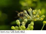 Купить «wasp nibbles on ivy flower», фото № 28026462, снято 22 сентября 2019 г. (c) PantherMedia / Фотобанк Лори