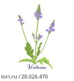 Купить «Flowering herb verbena or vervain. Vector illustration.», фото № 28026470, снято 19 января 2019 г. (c) PantherMedia / Фотобанк Лори