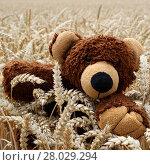 Купить «a bear in a cornfield», фото № 28029294, снято 20 октября 2018 г. (c) PantherMedia / Фотобанк Лори