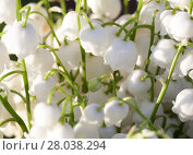 Купить «Forest lily of the valley close-up», фото № 28038294, снято 20 августа 2018 г. (c) PantherMedia / Фотобанк Лори