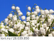 Купить «Forest lily of the valley close-up», фото № 28039850, снято 20 августа 2018 г. (c) PantherMedia / Фотобанк Лори