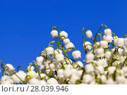 Купить «Forest lily of the valley close-up», фото № 28039946, снято 20 августа 2018 г. (c) PantherMedia / Фотобанк Лори