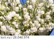 Купить «Forest lily of the valley close-up», фото № 28040974, снято 20 августа 2018 г. (c) PantherMedia / Фотобанк Лори