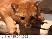 Купить «the south american weasel cat jaguarundi», фото № 28041562, снято 20 августа 2018 г. (c) PantherMedia / Фотобанк Лори