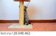 Купить «Gray british kitten playing with toy and scratching post», видеоролик № 28048462, снято 7 июня 2017 г. (c) Володина Ольга / Фотобанк Лори