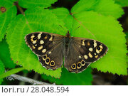 Купить «Speckled wood butterfly (Pararge aegeria) at rest, wings open. Dorset, UK June.», фото № 28048594, снято 13 декабря 2018 г. (c) Nature Picture Library / Фотобанк Лори