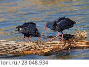 Купить «Purple swamp-hen (Porphyrio porphyrio) feeding on mat of vegetation, Quinta do Lago, Ria Formosa Nature Reserve, Algarve Portugal, February.», фото № 28048934, снято 20 мая 2019 г. (c) Nature Picture Library / Фотобанк Лори
