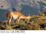 Купить «Guanaco (Lama guanicoe) female feeding on scrub, Torres del Paine National Park, Patagonia, Chile, South America.», фото № 28048950, снято 20 мая 2019 г. (c) Nature Picture Library / Фотобанк Лори