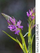 Купить «Wedge-lipped orchid (Dactylorhiza saccifera) Cervellu Valley, Corsica France, May.», фото № 28048954, снято 20 мая 2019 г. (c) Nature Picture Library / Фотобанк Лори