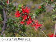 Купить «Chilean firetree (Embothrium coccineum) flowers, Torres del Paine National Park, Patagonia, Chile, December.», фото № 28048962, снято 20 мая 2019 г. (c) Nature Picture Library / Фотобанк Лори