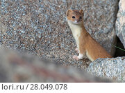 Купить «Mountain weasel (Mustela altaica) Sanjiangyuan National Nature Reserve, Qinghai Hoh Xil UNESCO World Heritage Site, Qinghai-Tibet Plateau, Qinghai Province, China.», фото № 28049078, снято 22 мая 2018 г. (c) Nature Picture Library / Фотобанк Лори