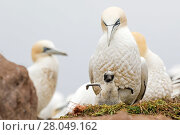 Купить «Gannet (Morus bassanus) adult with young chick, Great Saltee, Saltee Islands, County Wexford, Ireland. June», фото № 28049162, снято 15 августа 2018 г. (c) Nature Picture Library / Фотобанк Лори