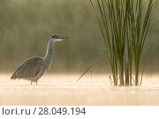 Купить «Grey Heron (Ardea cinerea) foraging in the early morning light in a fishpond. Valkenhorst Nature Reserve, Valkenswaard, The Netherlands June», фото № 28049194, снято 19 марта 2018 г. (c) Nature Picture Library / Фотобанк Лори