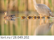 Купить «Mallard (Anas platyrhynchos) female with ducklings, and Grey Heron (Ardea cinerea) in foreground, Valkenhorst Nature Reserve, Valkenswaard, The Netherlands. June.», фото № 28049202, снято 19 марта 2018 г. (c) Nature Picture Library / Фотобанк Лори
