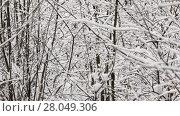 Купить «Cold day in the wild winter forest with trees branches covered with snow», видеоролик № 28049306, снято 7 февраля 2018 г. (c) Алексей Кузнецов / Фотобанк Лори