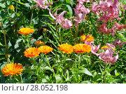 Купить «Цветущая календула (лат. Calendula officinalis) и розовые лилии (лат. Lilium) на клумбе в саду», эксклюзивное фото № 28052198, снято 5 августа 2017 г. (c) Елена Коромыслова / Фотобанк Лори