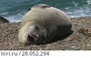 Купить «Argentinean fur seal lying on the coastline of Atlantic Ocean. Punta Ninfas place, Argentina», видеоролик № 28052294, снято 26 января 2015 г. (c) Алексей Кузнецов / Фотобанк Лори