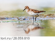 Купить «Little stint (Calidris minuta) adult in summer, Sinoe Lagoon, Romania. May.», фото № 28059810, снято 19 мая 2019 г. (c) Nature Picture Library / Фотобанк Лори