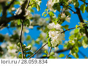 Купить «Spring flowers of blooming apple tree in the garden. Natural spring floral background», фото № 28059834, снято 4 июня 2017 г. (c) Зезелина Марина / Фотобанк Лори