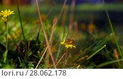 Bee gathering pollen on yellow dandelions. Стоковое видео, видеограф Данил Руденко / Фотобанк Лори