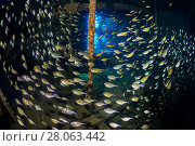 Купить «Schooling sweepers (Pempheris schwenkii) inside the engine room of the Giannis D wreck. Abu Nuhas reef, Egypt. Strait of Gubal, Gulf of Suez, Red Sea.», фото № 28063442, снято 22 июля 2018 г. (c) Nature Picture Library / Фотобанк Лори