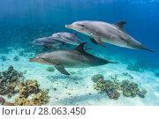 Купить «Pod of Indian Ocean bottlenose dolphin (Tursiops adunctus) swim over a coral reef. Sha'ab El Erg, Hurghada, Egypt. Red Sea.», фото № 28063450, снято 22 июля 2018 г. (c) Nature Picture Library / Фотобанк Лори