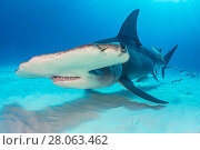 Купить «Great hammerhead shark (Sphyrna mokarran) female cruises over the sand in shallow water. South Bimini, Bahamas. The Bahamas National Shark Sanctuary. Gulf Stream, West Atlantic Ocean.», фото № 28063462, снято 18 августа 2018 г. (c) Nature Picture Library / Фотобанк Лори