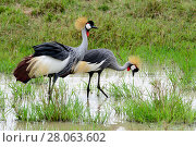 Black crowned-cranes (Balearica pavonina) foraging in wetland, Masai Mara, Kenya. Стоковое фото, фотограф Enrique Lopez-Tapia / Nature Picture Library / Фотобанк Лори