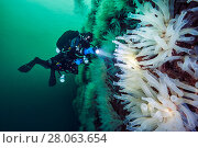 Купить «Diver examines a wall covered in large Sea squirts (Ciona intestinalis).  Gulen, Bergen, Norway. North Sea, North East Atlantic Ocean.», фото № 28063654, снято 22 марта 2018 г. (c) Nature Picture Library / Фотобанк Лори