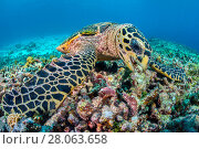 Купить «Hawksbill sea turtle (Eretmochelys imbricata) feeding on sponges and other encrusting life growing on coral rubble. Rock Islands, Palau, Mirconesia. Tropical west Pacific Ocean», фото № 28063658, снято 31 мая 2020 г. (c) Nature Picture Library / Фотобанк Лори