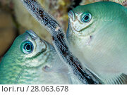 Купить «Whitebelly damselfish (Amblyglyphidodon leucogaster) male and female laying egg on old gorgonian branch. The Alternatives, Sinai, Egypt. Red Sea.», фото № 28063678, снято 25 сентября 2018 г. (c) Nature Picture Library / Фотобанк Лори