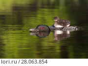 Купить «Common loon (Gavida immer) with sleepy chick  on its back, initiating a dive during which it will leave chick unattended,  New Hampshire, USA. Non-ex.», фото № 28063854, снято 15 августа 2018 г. (c) Nature Picture Library / Фотобанк Лори