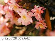 Цветы олеандра. Стоковое фото, фотограф Кристина Саймон / Фотобанк Лори