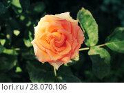 Солнечная роза. Стоковое фото, фотограф Кристина Саймон / Фотобанк Лори