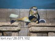 Купить «Контактный зоопарк. Обезьяна», фото № 28071102, снято 10 февраля 2018 г. (c) Литвяк Игорь / Фотобанк Лори