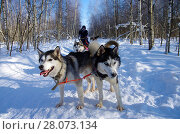Купить «Катание на хасках по зимнему лесу», фото № 28073134, снято 24 февраля 2018 г. (c) Natalya Sidorova / Фотобанк Лори