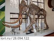 Купить «Сохранившийся в вечной мерзлоте скелет мамонта. Экспонат музея Природы и человека в городе Ханты-Мансийск», фото № 28094122, снято 15 апреля 2012 г. (c) Юрий Карачев / Фотобанк Лори