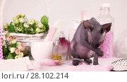 Купить «Don Sphinx kitty cat licking her paws in front of white background with spa accessories», видеоролик № 28102214, снято 19 мая 2016 г. (c) Алексей Кузнецов / Фотобанк Лори