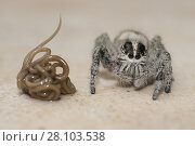 Купить «Horsehair (or Gordian) worm (Nematomorpha phylum), just having extruded from Jumping Spider (Aranaea order, Salticidae family) after making the spider find water, Klungkung, Bali, Indonesia.», фото № 28103538, снято 21 декабря 2016 г. (c) age Fotostock / Фотобанк Лори