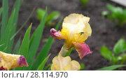 Купить «Wet yellow-purple iris under rain», видеоролик № 28114970, снято 3 марта 2018 г. (c) Игорь Жоров / Фотобанк Лори
