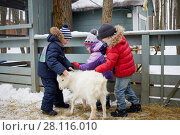Купить «Three children feed white goat with bread inside fold on winter day», фото № 28116010, снято 4 февраля 2017 г. (c) Losevsky Pavel / Фотобанк Лори